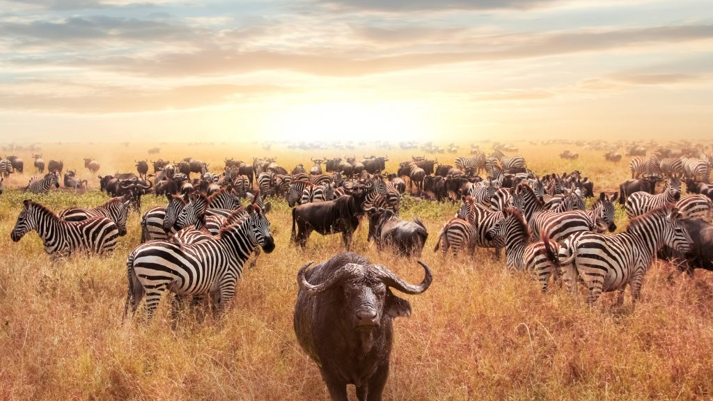 Tanzanya, Afrika | Bufalo Sürüsü