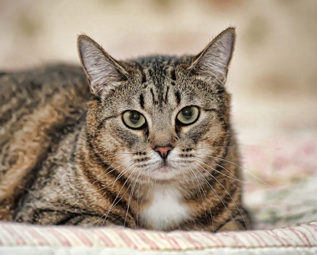 Angaje | Kedi