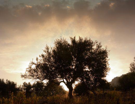 Öykü: Zeytin Ağacı | Yazan: Elif Bilici