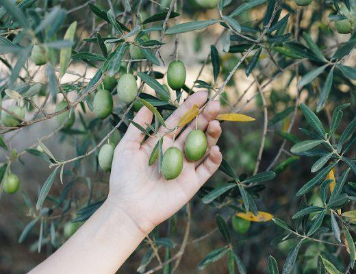 Öykü: Zeytin Ağacı | 1 | Yazan: Damla Gümren